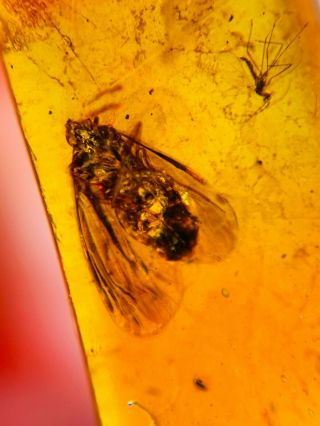 Leafhopper&mosquito Fly Burmite Myanmar Burmese Amber Insect Fossil Dinosaur Age