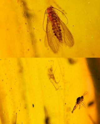 Caddisfly&mosquito Fly Burmite Myanmar Burmese Amber Insect Fossil Dinosaur Age
