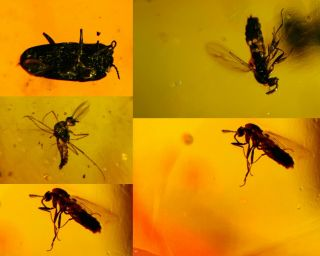 Beetle&wasp&diptera Fly Burmite Myanmar Burmese Amber Insect Fossil Dinosaur Age