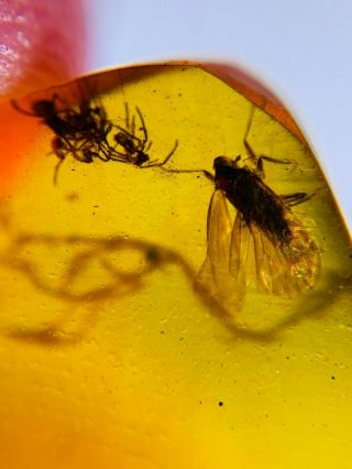 Cicada&4 Spider Burmite Myanmar Burmese Amber Insect Fossil Dinosaur Age