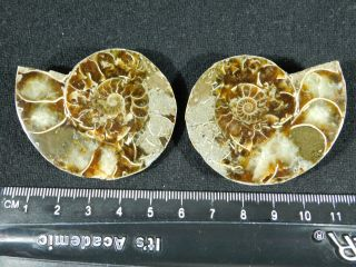 A Small 120 Million Year Old Cut And Polished Split Ammonite Fossil 78.  8gr
