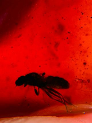 Diptera Fly In Red Blood Amber Burmite Myanmar Amber Insect Fossil Dinosaur Age
