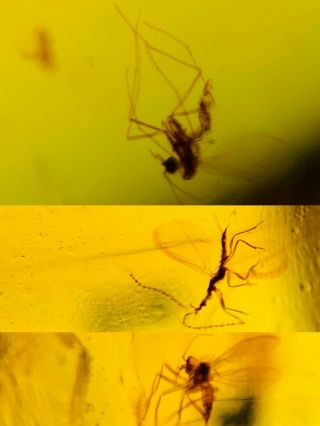 Mosquito Fly&scale Insect Burmite Myanmar Burma Amber Insect Fossil Dinosaur Age
