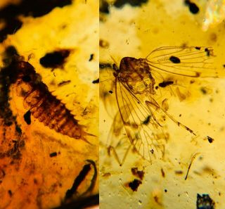 Beetle Larva&unknown Fly Burmite Myanmar Burma Amber Insect Fossil Dinosaur Age