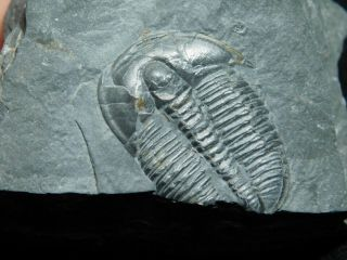 A 100 Natural Cambrian Era Elrathia Trilobite Fossil From Utah 104gr