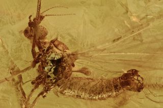 Crane Fly Limoniidae Fossil Inclusion Baltic Amber 200702 - 50,  Img