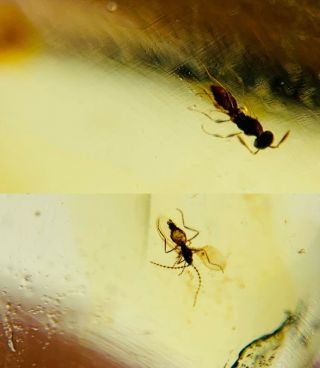 Wasp Bee&diptera Fly Burmite Myanmar Burmese Amber Insect Fossil Dinosaur Age