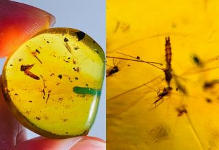 3.  18g Long Legs Mosquito Fly Burmite Myanmar Amber Insect Fossil Dinosaur Age