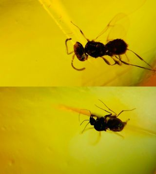 Wasp Bee&diptera Fly Burmite Myanmar Amber Insect Fossil Dinosaur Age
