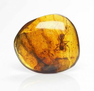 Burmese Amber,  Fossil Inclusion,  Formicidae - Unusual Ant Inclusion