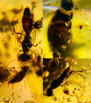 Unknown Item&wasp&roach Burmite Myanmar Burmese Amber Insect Fossil Dinosaur Age