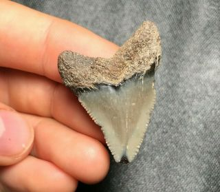 """1.  48 """" Angustidens Shark Tooth Teeth Fossil Sharks Necklace Jaws Jaw Meg"""