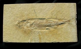 Extinctions - Large Tharsis Fish Fossil From Solnhofen Germany - Impressive Detail