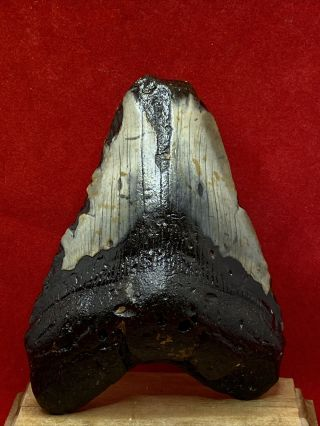"940.  4.  20"" Megalodon Shark Tooth Fossil 100 Authentic"